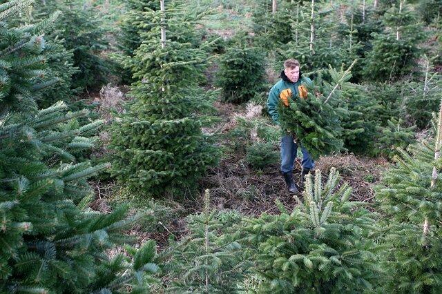 Weihnachtsbaum Selber Schlagen Sauerland.Weihnachtsbaum Am Besten Echt Und Selbst Geschlagen Freie Presse