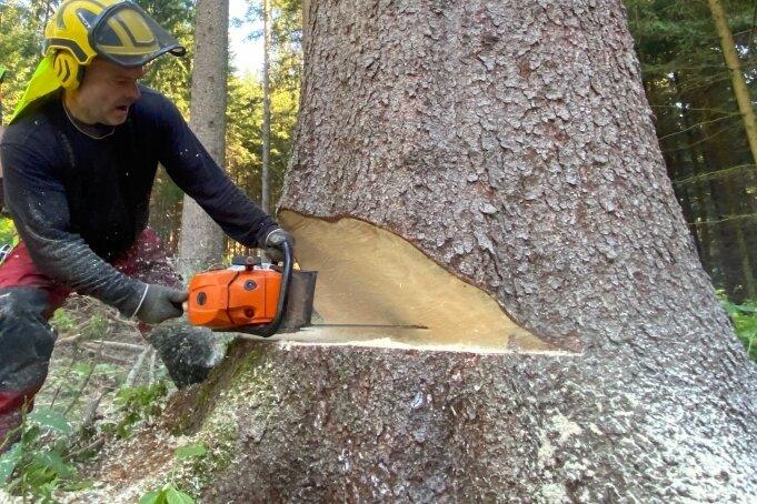 Die Kettensäge wird angesetzt. Der Baum muss nach 108 Jahren fallen. Die genaue Jahreszahl ist aus dem Datenspeicher Wald zu recherchieren. Hier gibt es den Wald in Zahlen, etwa zu Durchmessern oder dem Verhältnis zwischen Alter und Höhe - der sogenannten Bonität.