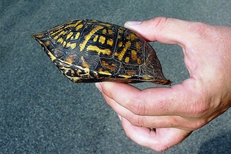 Eingeschnappt: Dosenschildkröte im Vollschutz.