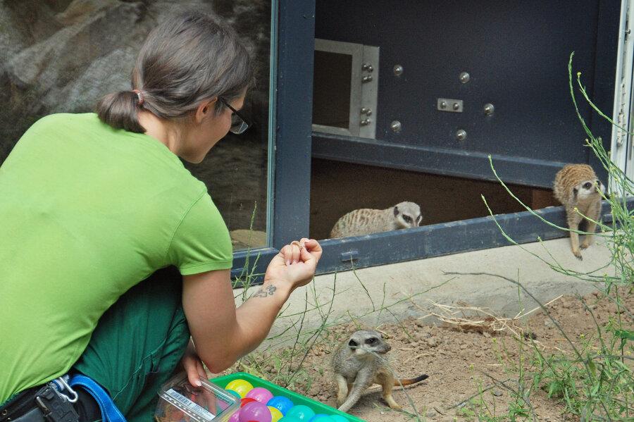 Erdmännchen ziehen in den Tierpark Klingenthal