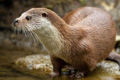 """Die deutsche Wildtierstiftung hat den Fischotter zum Tier des Jahres 2021 gewählt. """"Kaum ein anderes Säugetier verbindet die Elemente Land und Wasser so perfekt wie er. Wo Otter (hier ein Weibchen) sich wohlfühlen, ist die Natur noch intakt"""", teilt die Deutsche Wildtier Stiftung mit."""