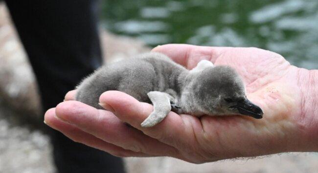 Der Nachwuchs bei den Pinguinen im Tierpark Limbach-Oberfrohna wiegt gerade mal 150 Gramm.