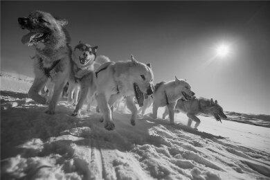 Diese Schlittenhunde in Grönland können auf eine mindestens 9500 Jahre lange Ahnentafel zurückblicken.