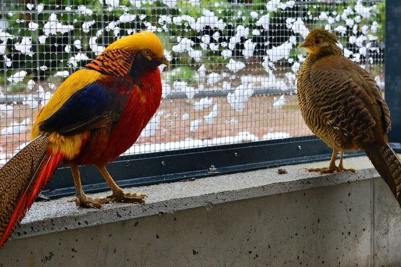 Der Schnee am Käfiggitter stört die Goldfasane in der neuen Voliere im Stadtpark in Hainichen nicht. Die Vögel haben bereits ihr neues, dauerhaftes Quartier zusammen mit den Nymphensittichen bezogen. Der Park ist kostenlos frei zugänglich.