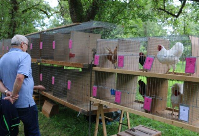 Höhepunkt des tierischen Sommerfestes war das Hähnewettkrähen. Besucher hatten zudem Gelegenheit, die Tiere aus der Nähe zu besichtigen.