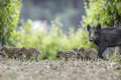 Wenn man im Wald einer Bache mit ihren Jungen begegnet, sollte man besonders vorsichtig sein.