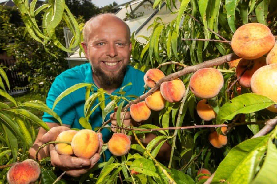 Pfirsiche wie aus dem Bilderbuch: Torsten Grieser erntet jedes Jahr rund 50 Kilogramm.