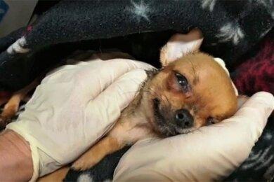 Einer der 46 Chihuahua-Welpen.