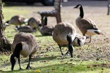 Kanadagänse sind regelmäßig am Teich im Bergerpark (Foto) und im nahen Wohngebiet in Lichtenstein unterwegs.