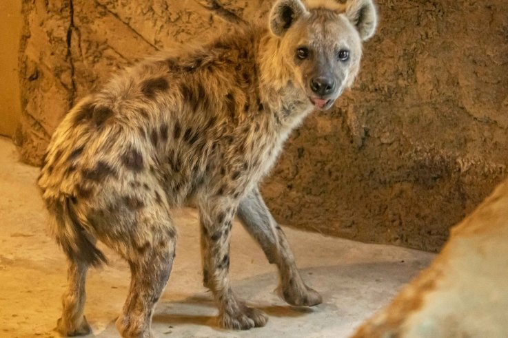 Tüpfelhyänen gab es im Tierpark noch nie zu sehen. Ab sofort gehören sie zum festen Tierbestand der Einrichtung.