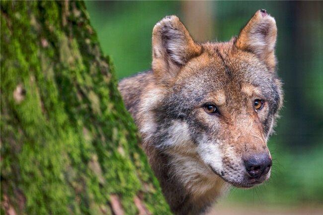 In Sachsen gab es zuletzt laut der Fachstelle Wolf 28 Rudel und 3 Paare. Zu einem Rudel gehören meist fünf bis sechs Tiere.