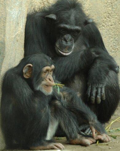 """<p class=""""artikelinhalt"""">Schimpansen im Pongoland: Der Leipziger Zoo ist ein 26 Hektar großer, parkartig gestalteter Garten nordwestlich der Innenstadt.</p>"""