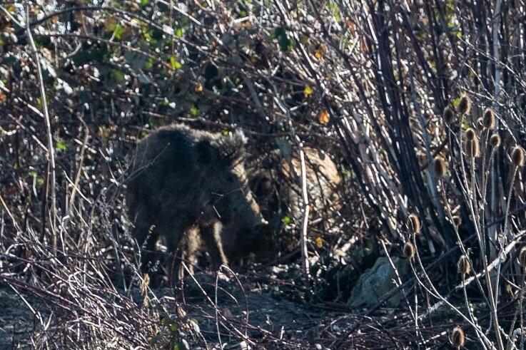 Unweit des Wohngebietes halten sich die Tiere oft auf - auch am Freitag waren sie zu entdecken.