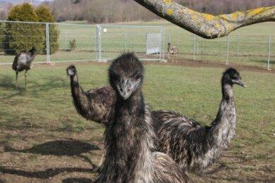 13 Emus leben auf dem Anwesen der Tannerts im Weischlitzer Ortsteil Kröstau.