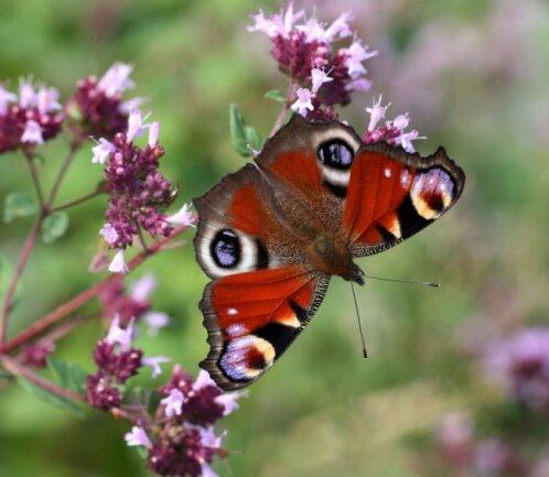 Blühender Oregano im Garten zieht auch Schmetterlinge wie das Tagpfauenauge an.