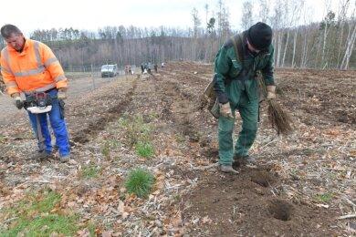 In zweieinhalb Wochen haben die Pflanzer auf sieben Hektar Fläche neue Bäumchen eingesetzt. Zu siebt schaffen sie 6000 Bäume, erzählt ein Mitarbeiter der Firma Crescat Waldbau aus Torgau.