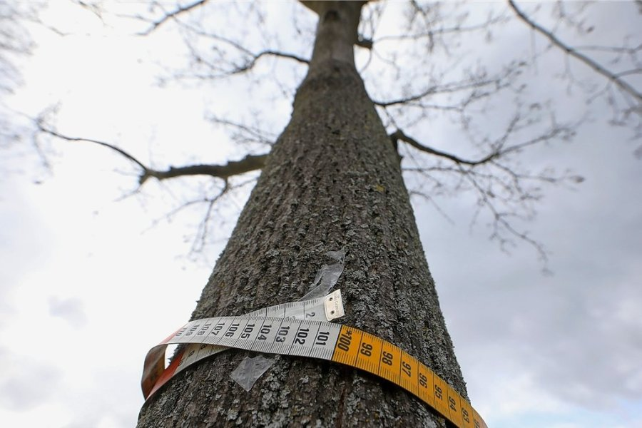 Das Ziel von Holger Quellmalz: Durch eine Satzung sollen Bäume mit einem Stammumfang von mehr als einem Meter unter Schutz gestellt werden.