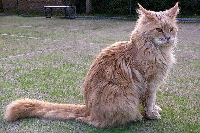 Auch Katzen der Rasse Mainecoon wurden in der Wohnung gefunden.