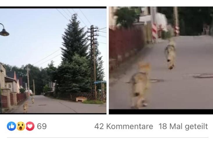 Aufregung um vermeintliche Wölfe in Thalheim