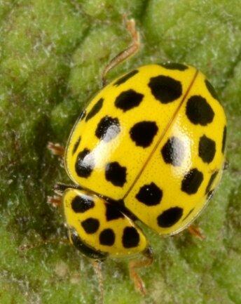 Der Gemeine Pilz-Marienkäfer kommt in Sachsen häufig vor, auch in Mittelsachsen lassen sich Exemplare entdecken.