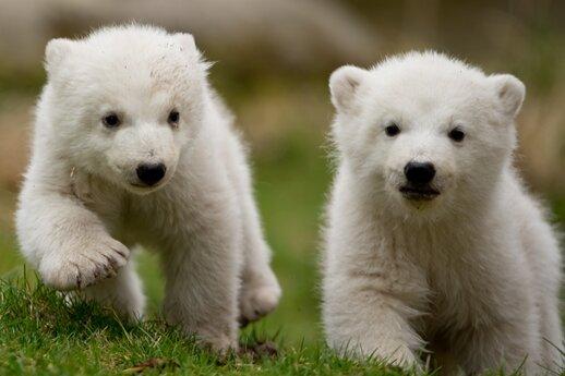 Auch in München sind Anfang des Jahres Eisbären-Zwillinge geboren worden: Die 14 Wochen alten Tiere erkunden ihr Gehege.