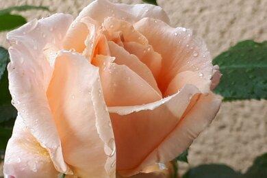 Rosen gibt es in vielen verschiedenen Farben. Einige davon hat Claudia Mai mit der Kamera eingefangen.