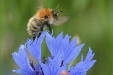 Bienenkrankheit im Raum Mittweida: Sperrbezirk aufgehoben