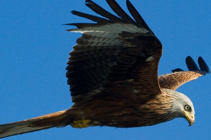 Der Rotmilan hat eine Flügelspannweite von 1,50 bis 1,80 Metern und zählt zu den geschützten Vogelarten.
