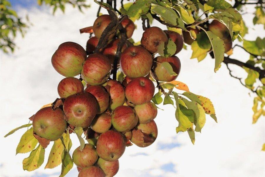Die Trauben hängen hoch, wenn man Kulturhauptstadt sein will? Mag schon sein, aber in Chemnitz hängen da eher Äpfel. Ein Projekt der Bewerbung dreht sich um 4000 Apfelbäume.