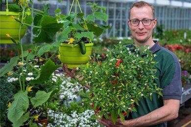 Für Selbstversorger mit wenig Platz: Gärtner Martin Bimberg aus Freiberg bietet hängende Mini-Gurken in einer Blumenampel und Nasch-Chili an.