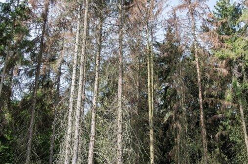 Im Rochlitzer Bergwald gibt es fast keine Fichten mehr. So wie in dieser Region starben auch in weiten Teilen Mittelsachsen die Bestände ab.