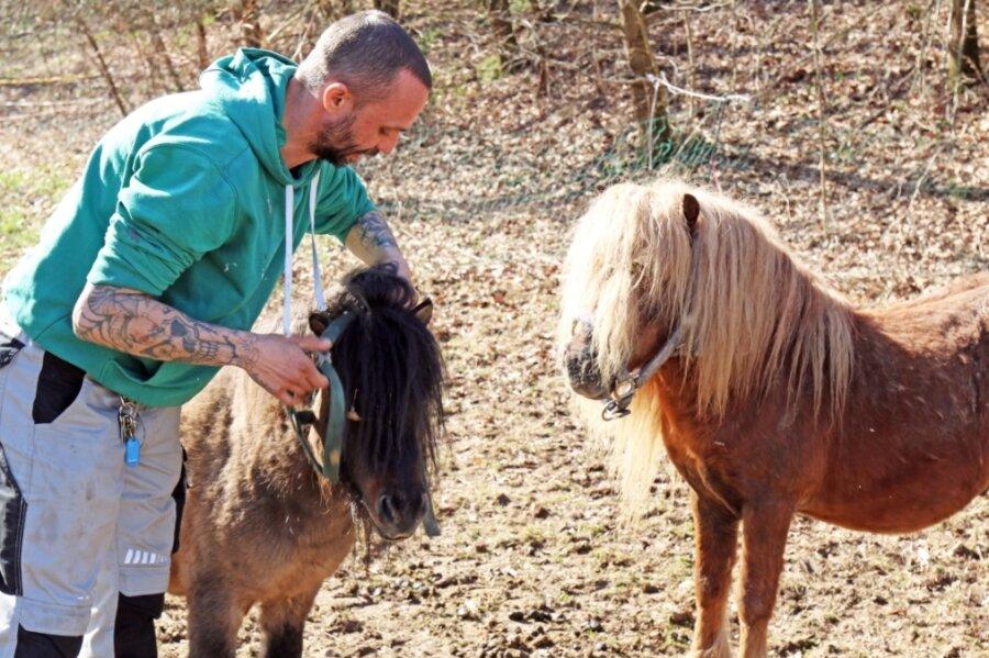 Michael Miethke kümmert sich um die Shetland-Ponys Spirit und Werner. Sie haben wie alle Tiere der Zirkusse Piccolino und Bernardo vor dem Naundorfer Bad eine Bleibe gefunden.