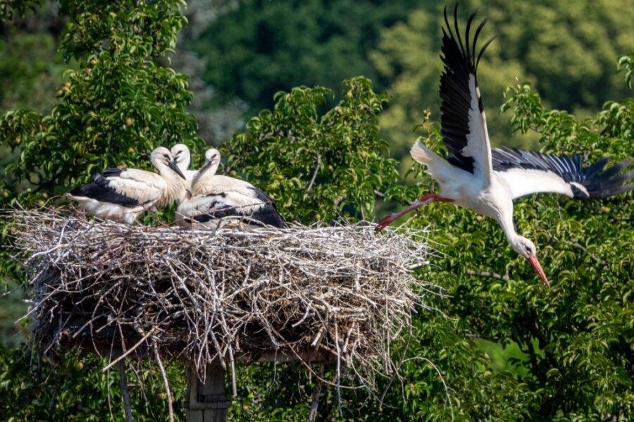 Im Pennaer Storchennest wachsen derzeit vier junge Störche heran. Die Altvögel haben den Horst zum ersten Mal besetzt.