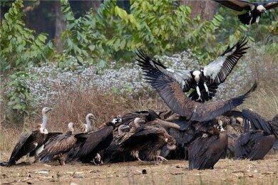 Bengalgeier fressen einen Kadaver, der in einem Naturschutzgebiet in Nepal für sie bereitgelegt wurde. Mit Hilfe örtlicher Gemeinden entstanden in dem Himalayastaat sogenannte Geierrestaurants, wo die Vögel mit unbelastetem Futter versorgt werden.