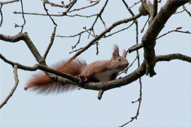 Ein Eichhörnchen späht aus einer Eiche. Auf der Beliebtheitsskala von uns Menschen rangieren die Nager ganz oben. Dazu tragen sicher ihre koboldhafte Gestalt mit fingerartigen Zehen an den kurzen Vorderbeinen sowie ihre tollkühnen Kletterkünste und das Männchenmachen bei.
