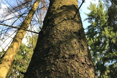 Vom Borkenkäfer befallene Fichte im Erzgebirgswald.