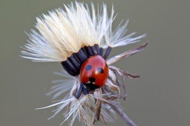 20 Marienkäferarten sind einer Roten Liste des Freistaates Sachsen als gefährdet eingestuft worden. Darunter ist der Fünfpunkt-Marienkäfer, der auch in Mittelsachsen lebt. Nicht zu verwechseln ist der Krabbler mit dem Siebenpunkt-Marienkäfer, der im Volksmund als Glücksbringer bekannt und nicht gefährdet ist.