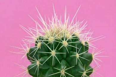 Ein kleiner grüner Kaktus.