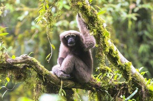 """""""Star Wars""""-Affe schwingt sich durch chinesische Wälder"""