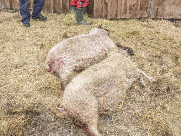 Gerissene Schafe auf der Weide des Alpakahofs in Oberwiesenthal.