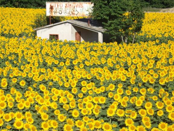 Ein Sonnenblumenfeld in Serbien.