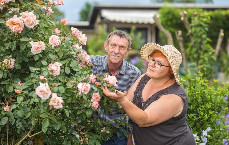 Zart und duftend: KleingärtnerArno Badura freut sich über seine Rosen. Lob dafür gibt es von Gartendoktor Katrin Keiner.