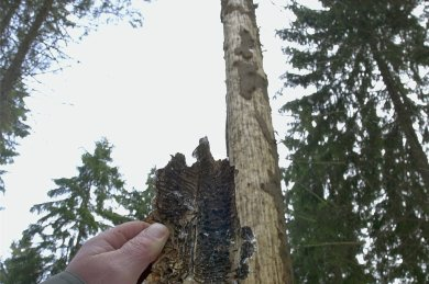 Mit dieser Fichte ist der Borkenkäfer fertig. Nach drei bis vier Jahren fallen die kranken Bäume von allein um.
