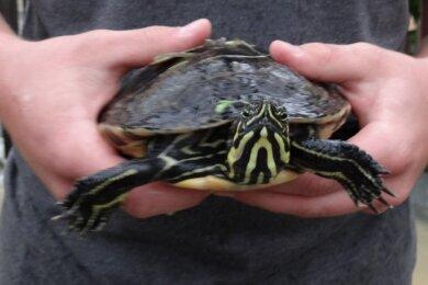 Diese Schildkröte wurde in Untermarxgrün an ein Tor gespült.