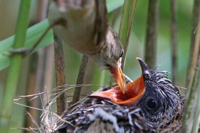 """Ein Teichrohrsänger füttert einen frisch geschlüpften Kuckuck: Die untergeschobenen Vogelkinder verdanken in vielen Fällen ihr Leben den """"Fremdsprachenkenntnissen"""" ihrer Eltern. Denn der Kuckuck kann den Ruf des Sperbers nachahmen. Das vermeintliche Nahen des Raubvogels löst unter Singvögeln einen Kollektivalarm aus und schlägt sie in die Flucht. Dann kann sich der Kuckuck aussuchen, in wessen unbewachtes Nest er seine Eier ablegt."""