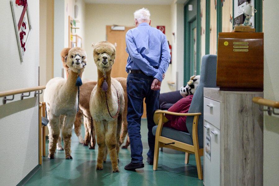 Alpakas stehen im Flur des Seniorenheims neben einem Bewohner, der in sein Zimmer geht.