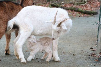 Eine der vier jungen Zwergziegen mit ihrer Mutter