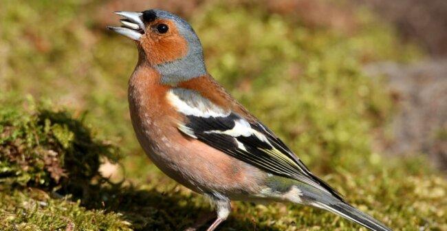 Der Buchfink zählt zu den häufigsten Singvogelarten in Europa.