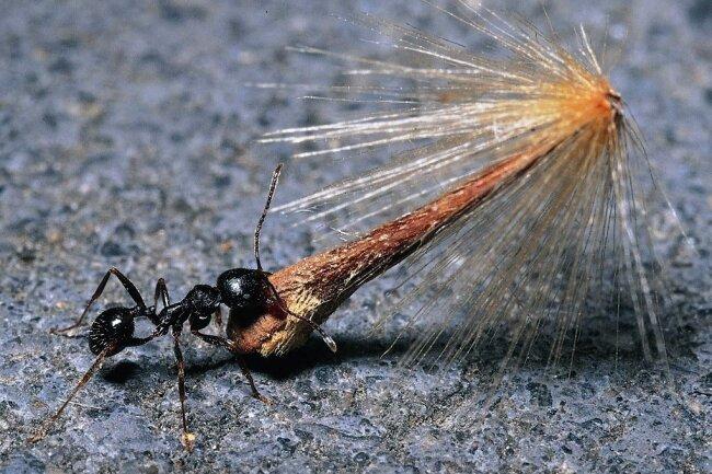 Ameisen sind für ihre Größenverhältnisse nicht nur sehr schnell, sondern auch stark: Diese Ernteameise schleppt einen ganzen Platanensamen.
