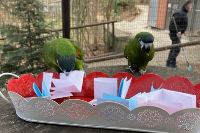 Gibt es Post von Besuchern, die derzeit nicht in den Zoo der Minis kommen können? Bei den Zwergaras könnte man das vermuten. Es ist aber eine besondere Art der Beschäftigung, Leckereien sind in gefalteten Zetteln versteckt.